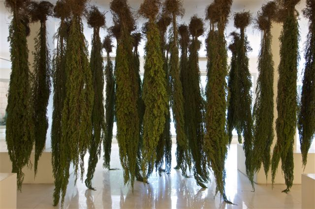 HangingCypresses